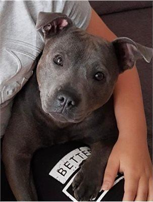 Have you seen Sky the Staffordshire Bull Terrier from Waltham Cross?